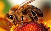 Komunikat WIORiN w sprawie zasad stosowania środków ochrony roślin w sposób bezpieczny dla pszczół